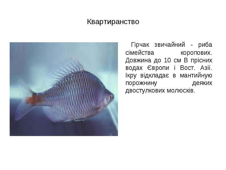 Квартиранство Гірчак звичайний - риба сімейства коропових. Довжина до 10 см В...