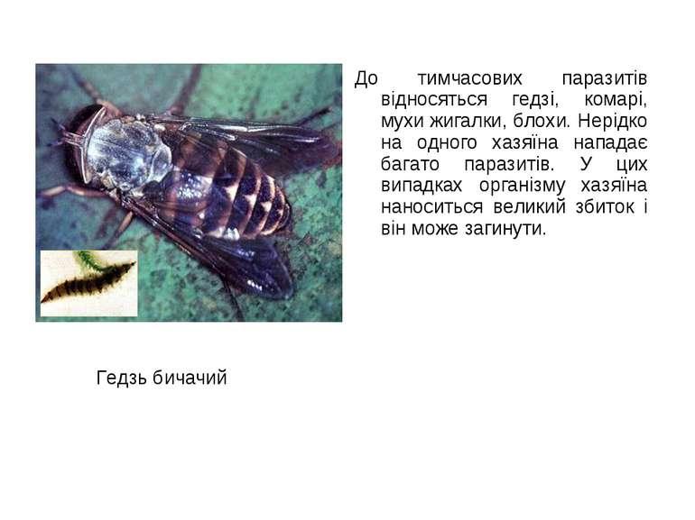 До тимчасових паразитів відносяться гедзі, комарі, мухи жигалки, блохи. Нерід...