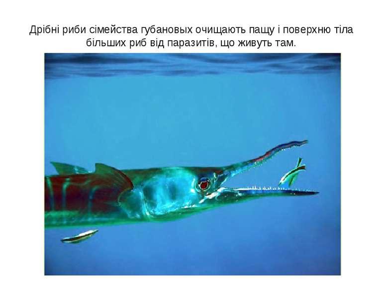 Дрібні риби сімейства губановых очищають пащу і поверхню тіла більших риб від...