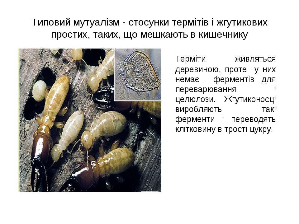 Типовий мутуалізм - стосунки термітів і жгутикових простих, таких, що мешкают...