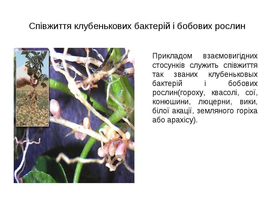 Співжиття клубенькових бактерій і бобових рослин Прикладом взаємовигідних сто...