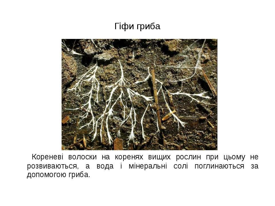 Гіфи гриба Кореневі волоски на коренях вищих рослин при цьому не розвиваються...