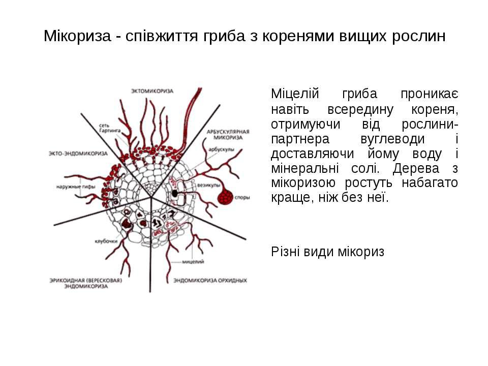 Мікориза - співжиття гриба з коренями вищих рослин Міцелій гриба проникає нав...