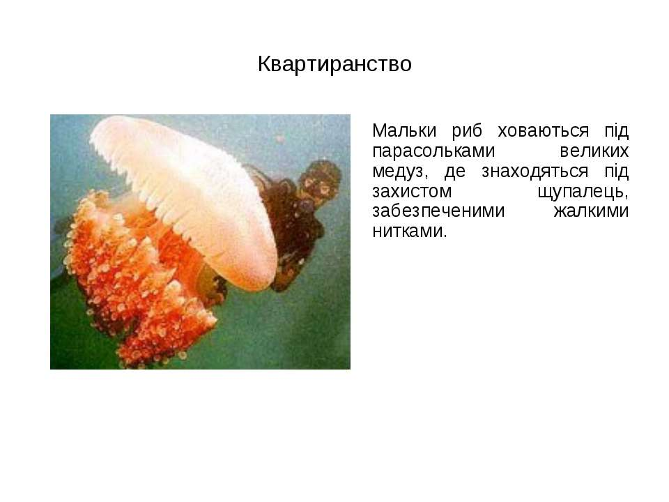 Квартиранство Мальки риб ховаються під парасольками великих медуз, де знаходя...