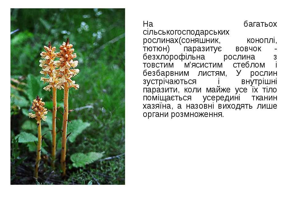 На багатьох сільськогосподарських рослинах(соняшник, коноплі, тютюн) паразиту...