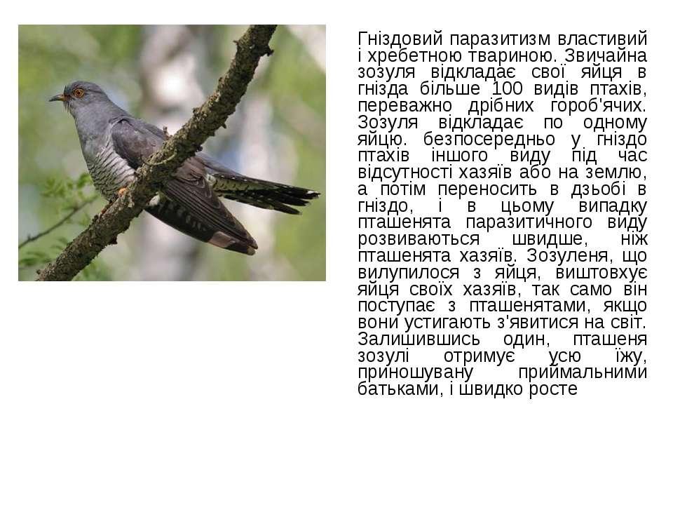 Гніздовий паразитизм властивий і хребетною твариною. Звичайна зозуля відклада...