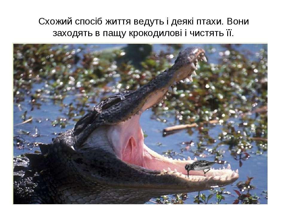 Схожий спосіб життя ведуть і деякі птахи. Вони заходять в пащу крокодилові і ...
