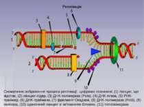 Реплікація Схематичне зображення процеса реплікації, цифрами позначені: (1) л...