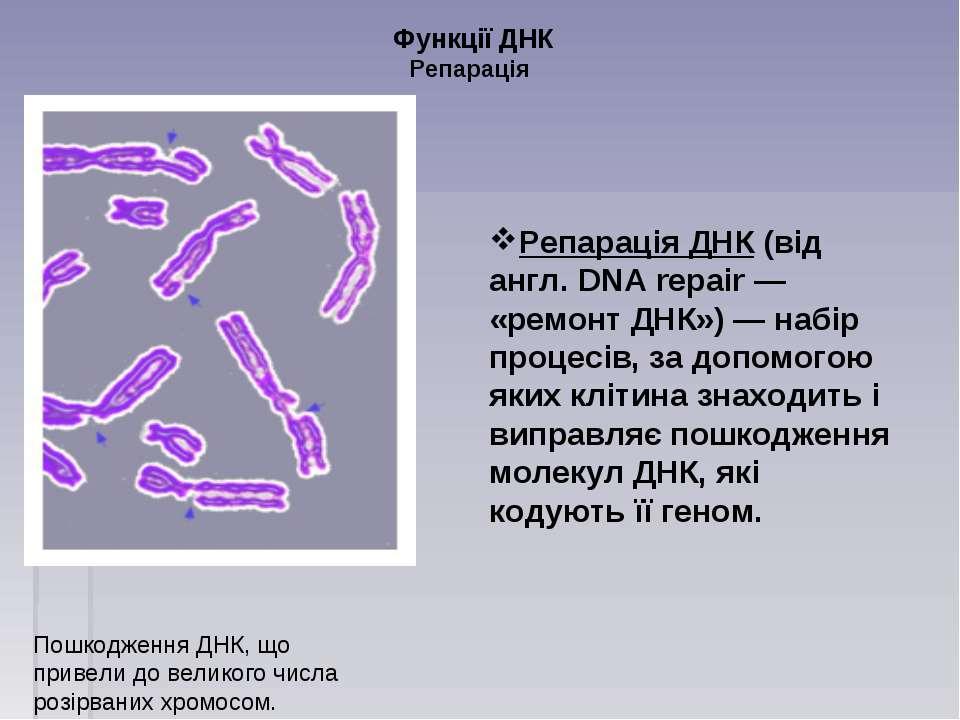 Функції ДНК Репарація Репарація ДНК (від англ. DNA repair — «ремонт ДНК») — н...