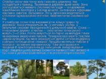 Стовбур сосни має тонку кору і масивну деревину, яка складається з трахеїд. П...