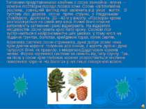 Типовими представниками хвойних є сосна звичайна і ялина — основні лісотворні...