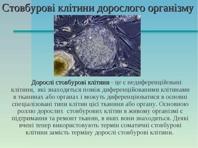 Стовбурові клітини дорослого організму Дорослі стовбурові клітини - це є неди...