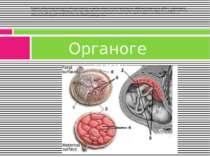 В період органогенезу зародкові листки розділяються на зачатки органів і сист...