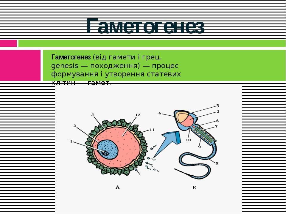 Гаметогенез Гаметогенез(від гамети і грец. genesis — походження) — процес фо...