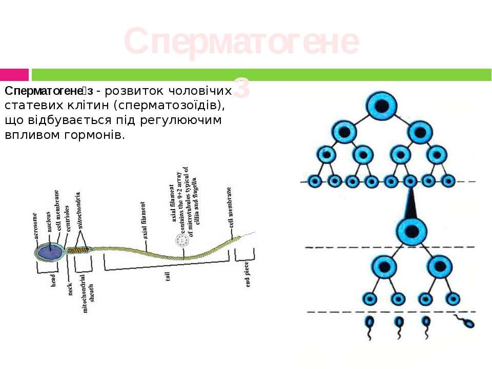 Сперматогенез Сперматогене з- розвиток чоловічих статевих клітин (сперматозо...
