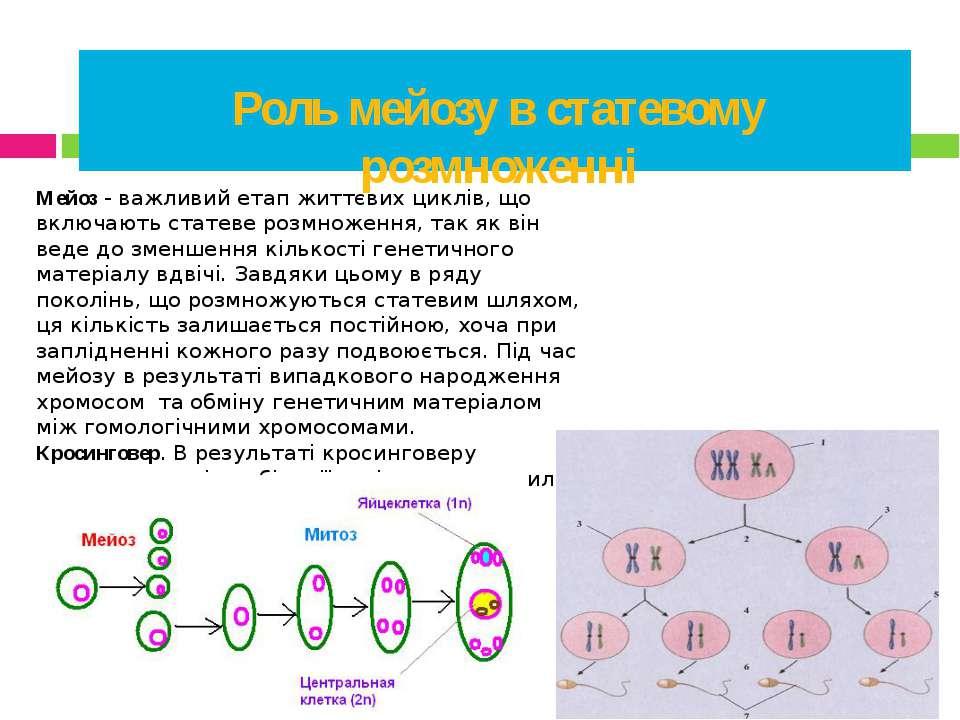 Роль мейозу в статевому розмноженні Мейоз - важливий етап життєвих циклів, що...