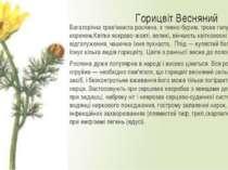 Горицвіт Весняний Багаторічна трав'яниста рослина, з темно-бурим, трохи галуз...