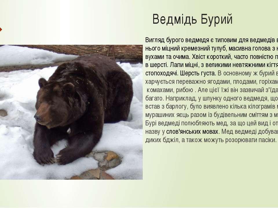 Ведмідь Бурий Вигляд бурого ведмедя є типовим для ведмедів взагалі. В нього м...