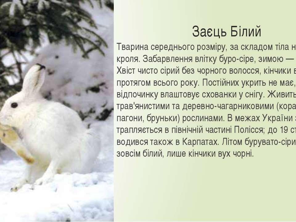 Заєць Білий Тварина середнього розміру, за складом тіла нагадує кроля. Забарв...