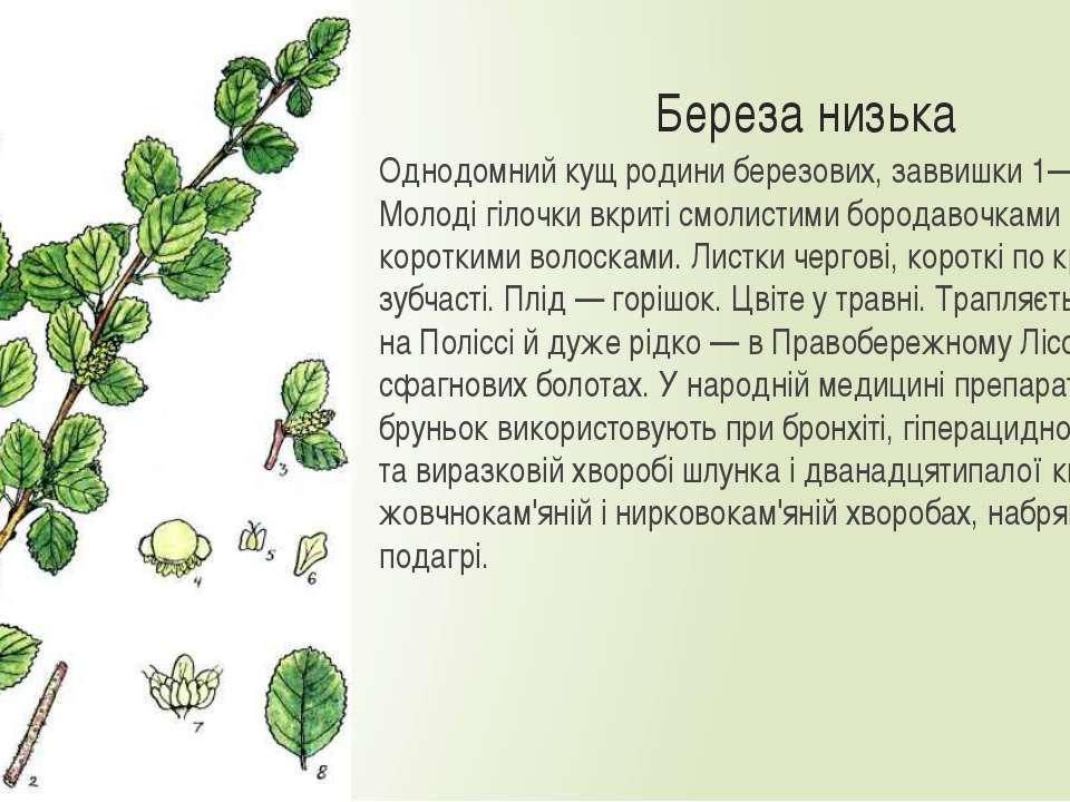Береза низька Однодомний кущ родини березових, заввишки 1—2,5 м. Молоді гілоч...