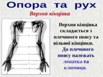 Верхня кінцівка Верхня кінцівка складається з плечового поясу та вільної кінц...