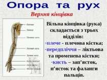 Верхня кінцівка Вільна кінцівка (рука) складається з трьох відділів: плече - ...