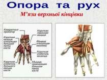 М'язи верхньої кінцівки