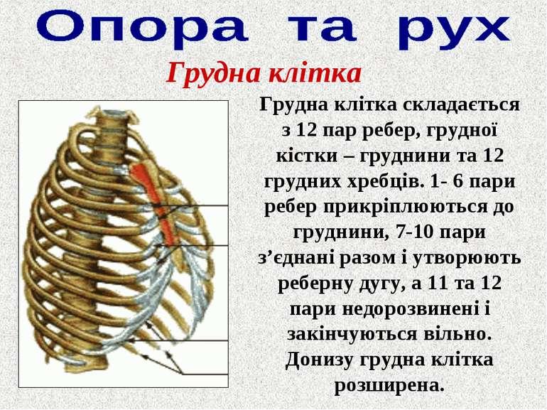 Грудна клітка Грудна клітка складається з 12 пар ребер, грудної кістки – груд...
