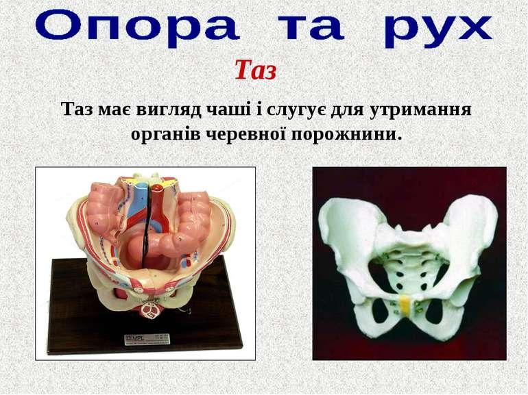 Таз Таз має вигляд чаші і слугує для утримання органів черевної порожнини.