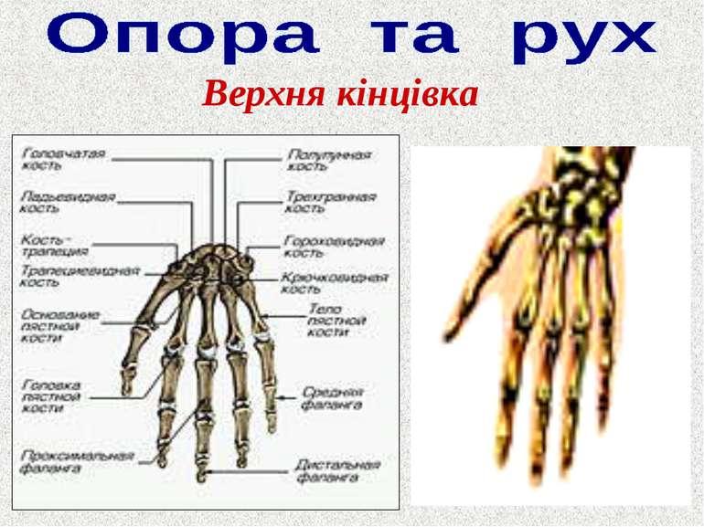 Верхня кінцівка