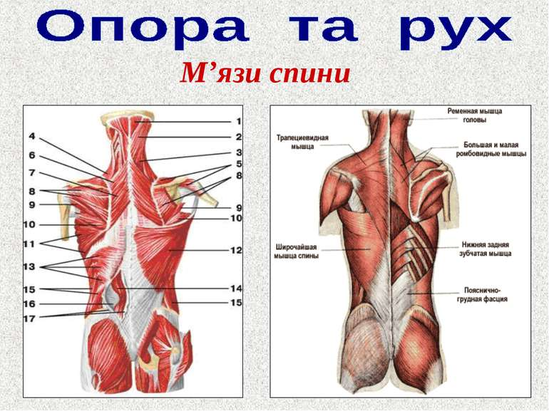 М'язи спини