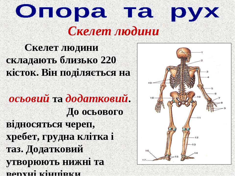 Скелет людини Скелет людини складають близько 220 кісток. Він поділяється на ...