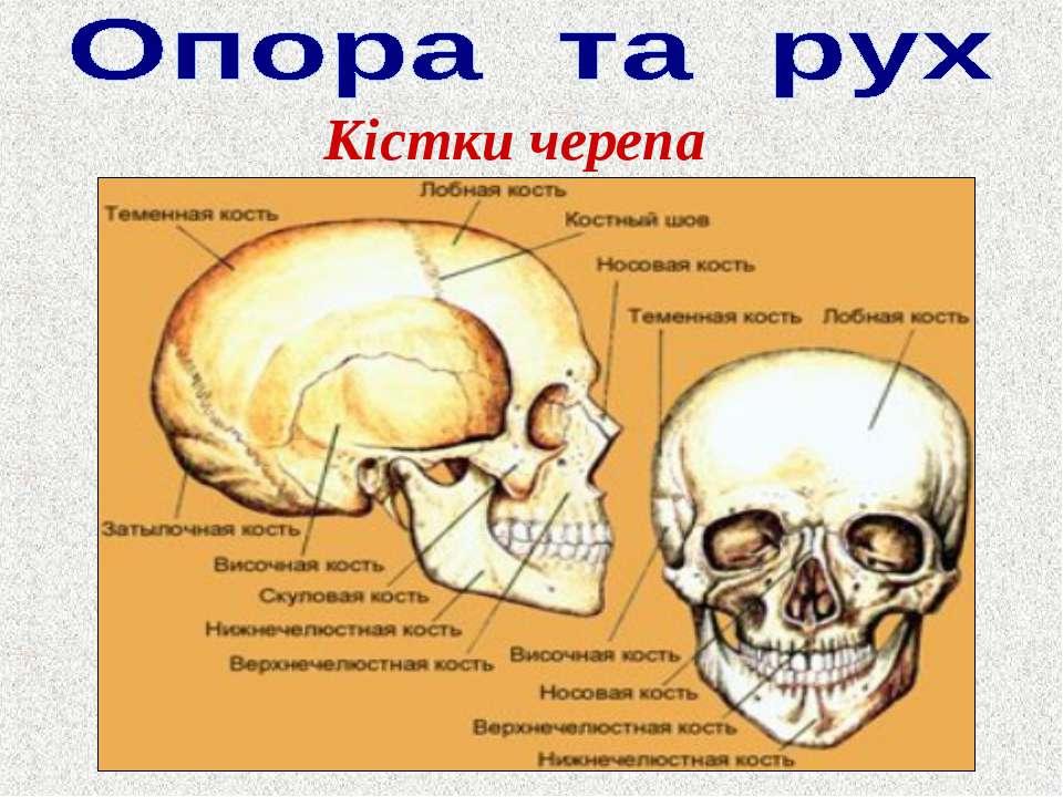 Кістки черепа