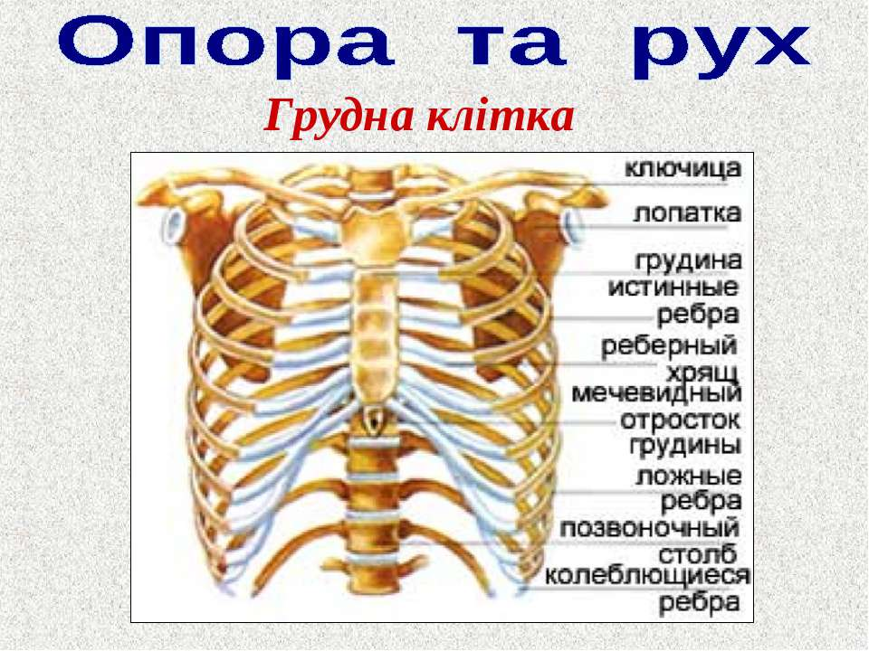 Anatomy rib cage