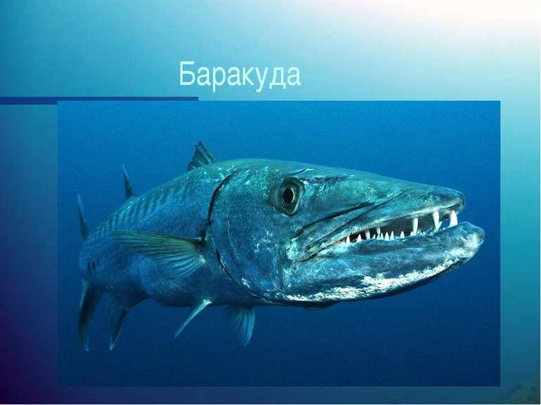 Баракуда