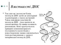 Властивості ДНК Так само як і молекули білків, молекули ДНК здатні до денатур...
