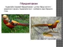 Гібридний фазан Надзвичайно яскравий гібридний фазан – це птах-гібрид золотог...