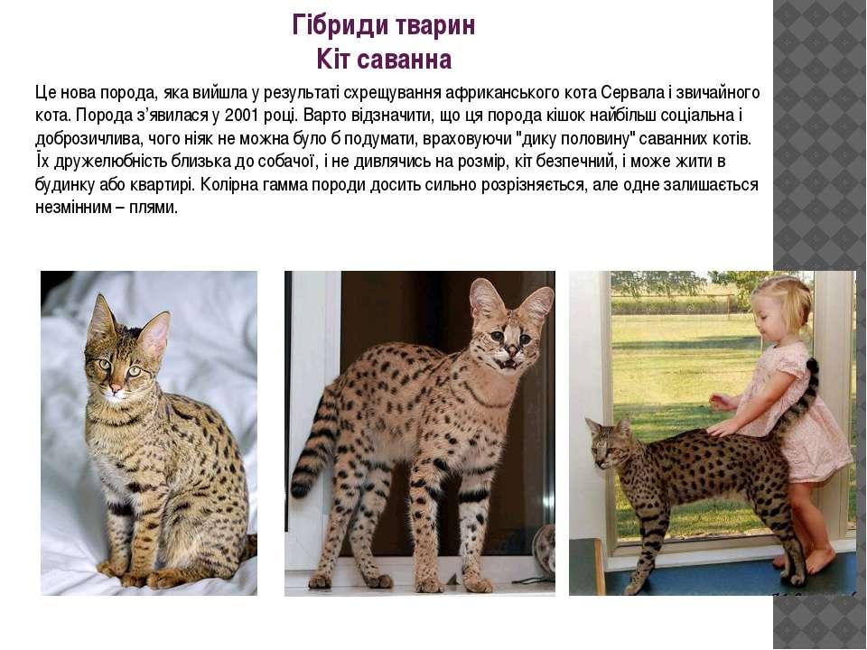 Гібриди тварин Кіт саванна Це нова порода, яка вийшла у результаті схрещуванн...