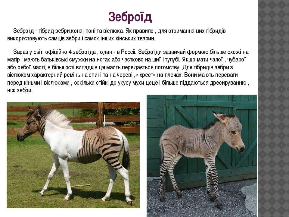 Зеброїд Зеброїд - гібрид зебри,коня, поні та віслюка. Як правило , для отрима...