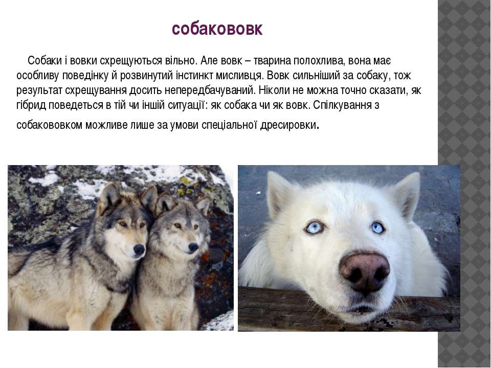собакововк Собаки і вовки схрещуються вільно. Але вовк – тварина полохлива, в...