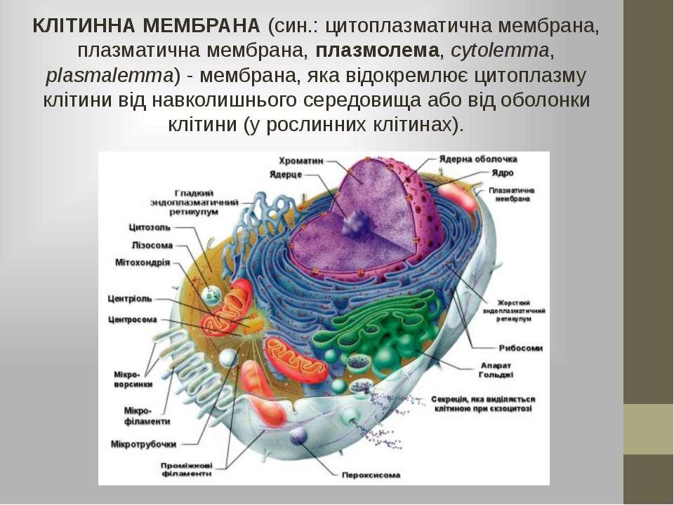 КЛІТИННА МЕМБРАНА (син.: цитоплазматична мембрана, плазматична мембрана, плаз...
