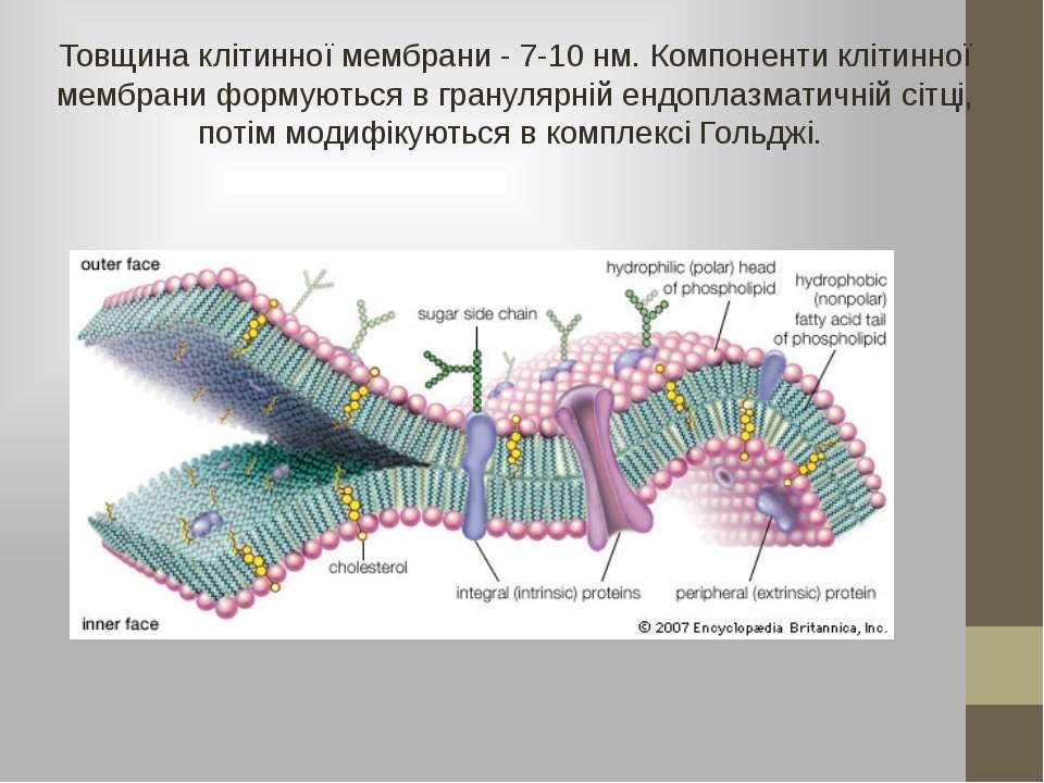 Товщина клітинної мембрани - 7-10 нм. Компоненти клітинної мембрани формуютьс...