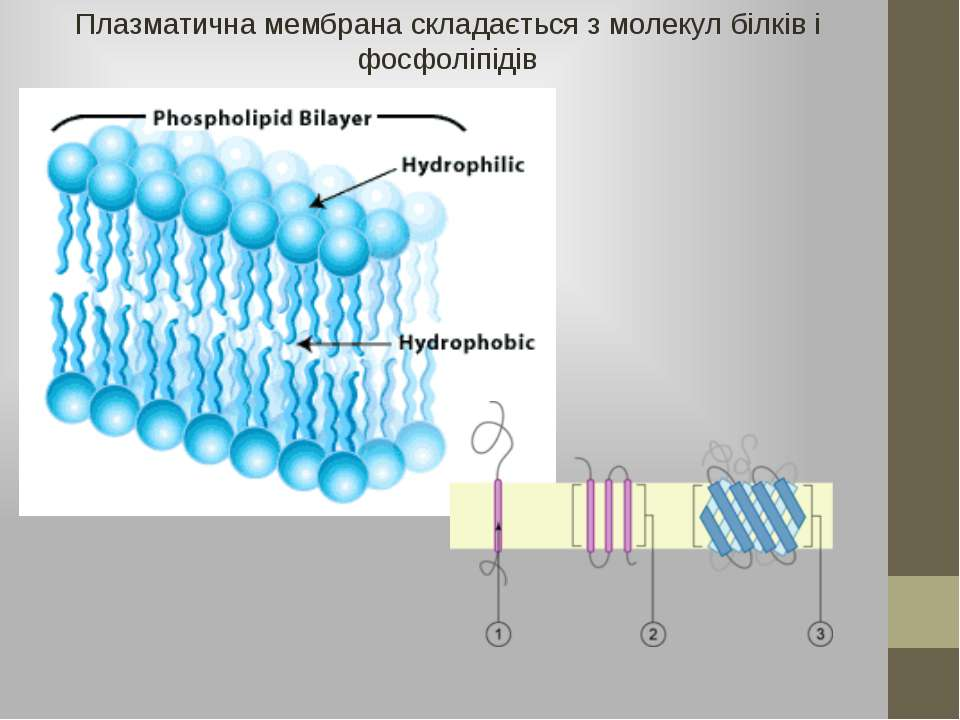 Плазматична мембрана складається з молекул білків і фосфоліпідів
