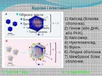 Будова і властивості 1)Капсид (білкова оболонка). 2)Геном (або ДНК, або РНК...