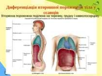 Диференціація вторинної порожнини тіла у ссавців Вторинна порожнина поділена ...