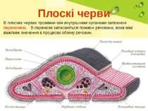 Плоскі черви В плоских червах проміжки між внутрішніми органами заповнені пар...