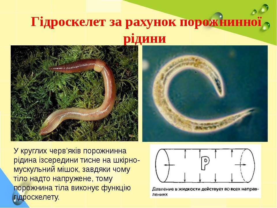 Гідроскелет за рахунок порожнинної рідини У круглих черв'яків порожнинна ріди...