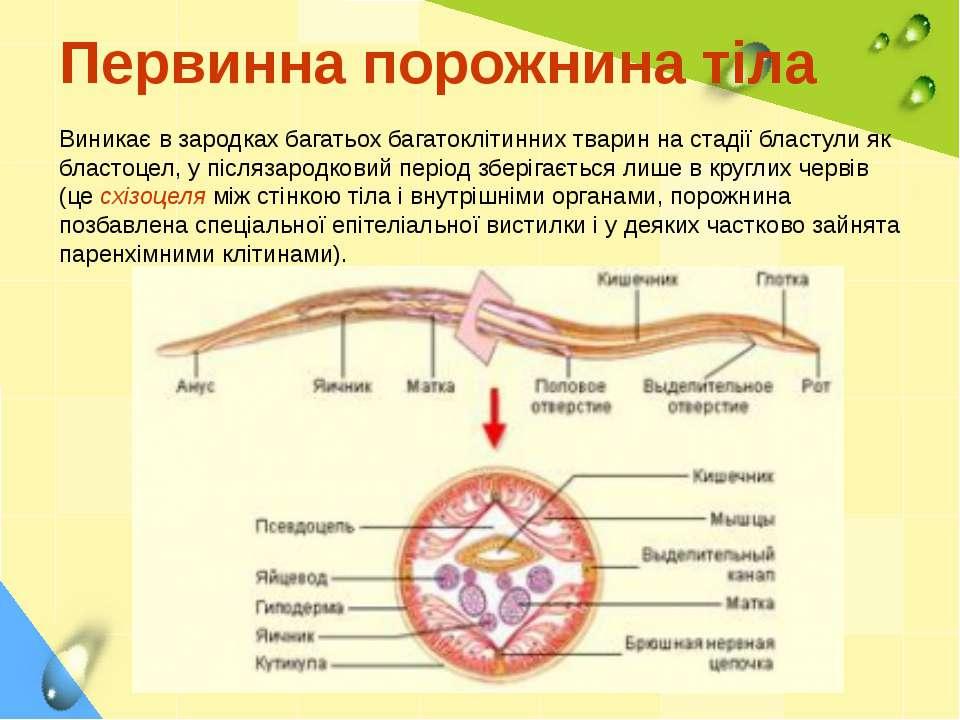 Первинна порожнина тіла Виникає в зародках багатьох багатоклітинних тварин на...