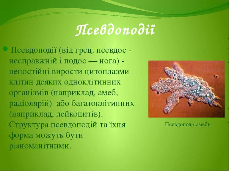 Псевдоподії (від грец. псевдос - несправжній і подос — нога) - непостійні вир...