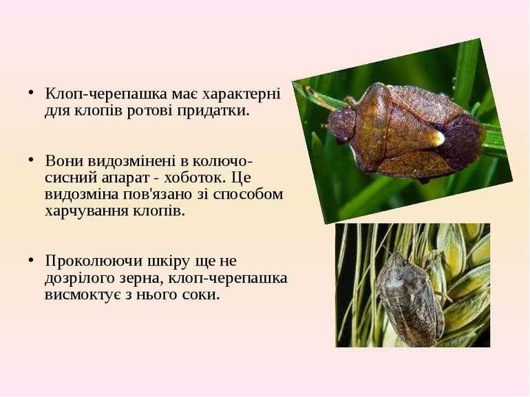 Клоп-черепашка має характерні для клопів ротові придатки. Вони видозмінені в ...